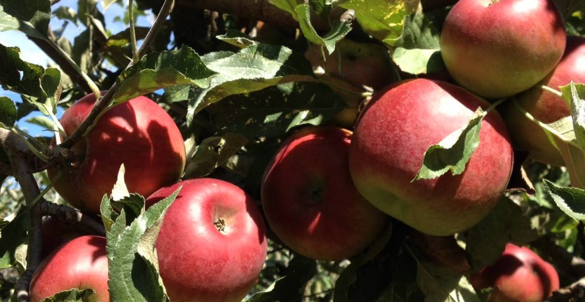 Pick Your Own Apples at Pine Crest Orchard, Bilpin NSW